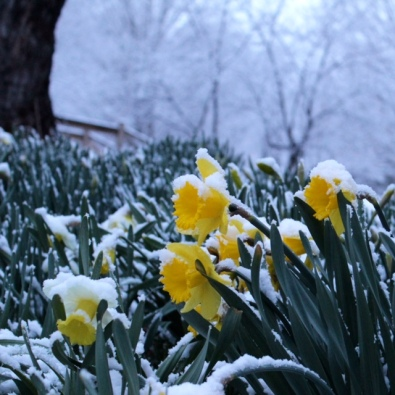 flowers in snow - kay kirk