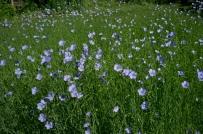 TRhe Flax Garden-2